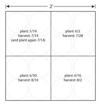 Successive Planting